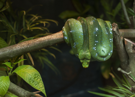 Green Python rested on branch Stock Photo