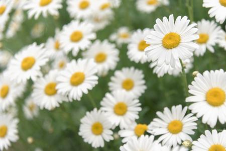 vegatation: Daisy flower on green meadow Stock Photo