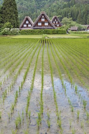 gokayama: Rice field in Historical village of Shirakawa-go. Shirakawa-go is one of Japans UNESCO World Heritage Sites located in Gifu Prefecture, Japan.