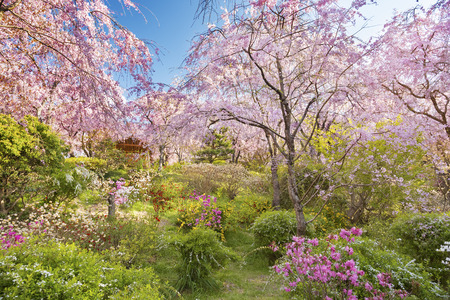 Fresh Pink Flowers Of Sakura Growing In Japanese Garden, Natural Spring  Outdoor Background With Sun