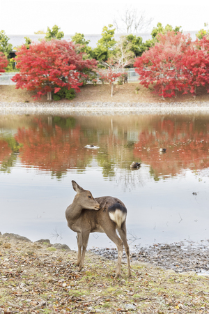 Deer in Nara, Japan. Deer is cherished as a divine force of God