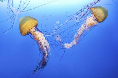 Pomarańczowa meduza (Chrysaora fuscescens lub pokrzywa pacyficzna) w błękitnej wodzie oceanu Zdjęcie Seryjne