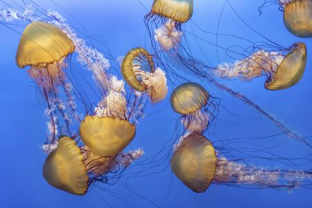 Orange jellyfish (Chrysaora fuscescens or Pacific sea nettle) in blue ocean water