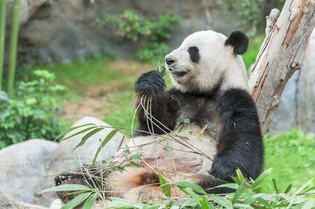 Adorable giant panda bear eating bamboo leaf Фото со стока