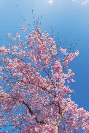 Beautiful cherry sakura flower blossom with blue sky background