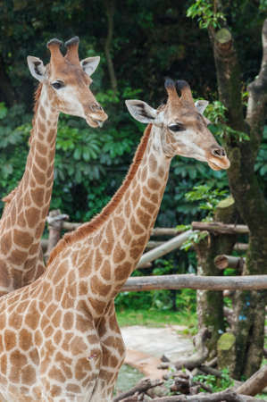 Closeup view of a couple of giraffe