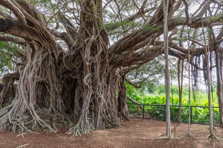 Natural landmark Kam Tin Tree House in Hong Kong