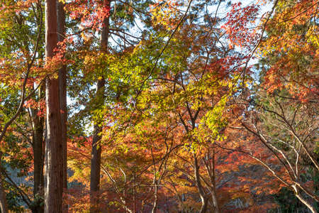 red maple leaves in forest in Kyoto, Japan in autumn season