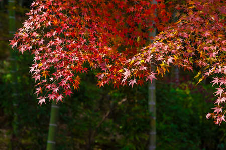 red maple leaves in forest in Kyoto, Japan in Autumn season 스톡 콘텐츠