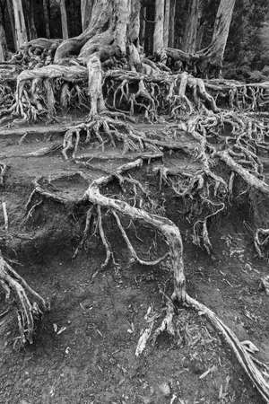 Closeup view of root of banyan tree in forest