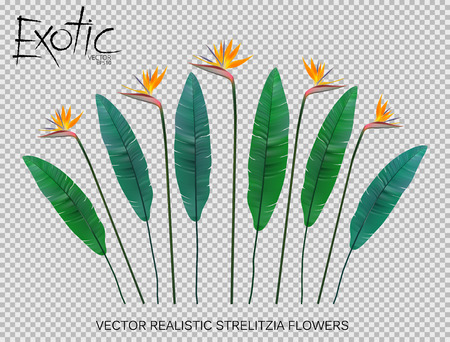 Strelitzia Reginae flower vector illustration collection isolated on transparency grid. Green leaves, yellow blossom realistic design set.
