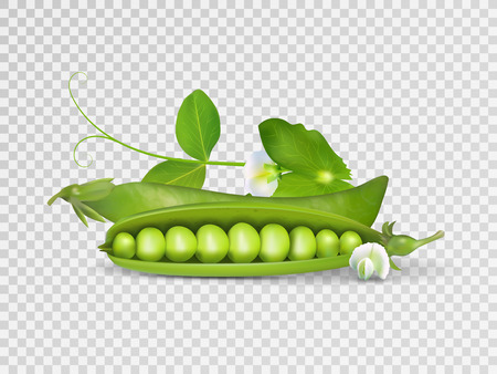 Vector realistic pods of green peas with leaves on transparent background. Illustration