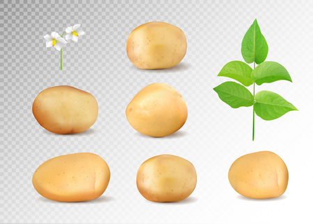 Realistic potatoes vector set. Potatoes with leaf and flowers on transparent background. Çizim