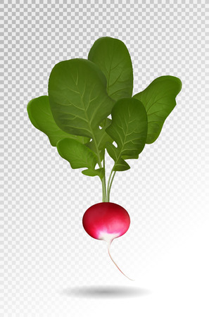 Photo realistic beautiful ripe red radish and green leaves on a transparent background. Vector illustration, 3d Ilustracja