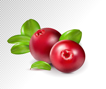 Two cranberry with leaves on transparent. Full depth of field. Quality realistic vector, 3d illustration
