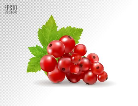 Red currant. Realistic vector illustration of berries on transparent background. 3d