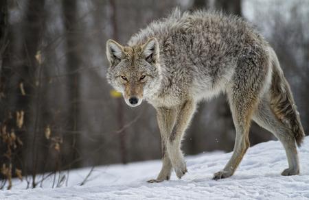 coyote: coyote, Omega Park, Montebello, Qc, Canada