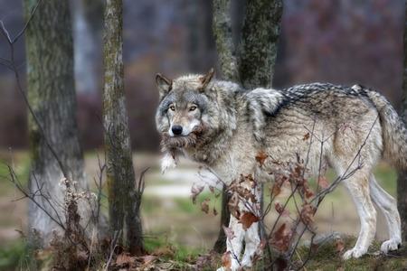 eats: gray wolf who eats a deer