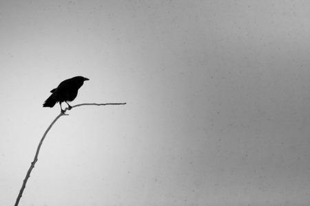 Black Bird Zdjęcie Seryjne