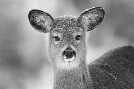 black deer: Black Deer nose