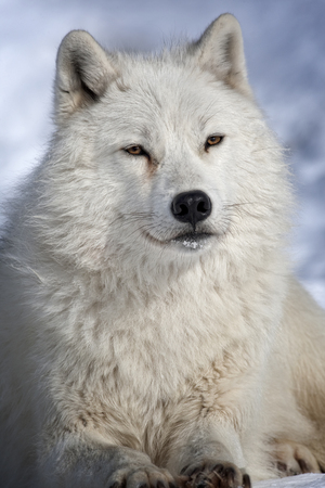 artic: Artic wolf