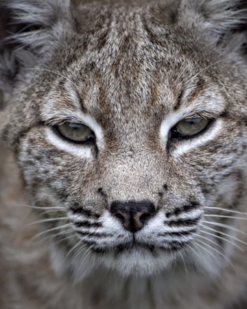 bobcat: Bobcat