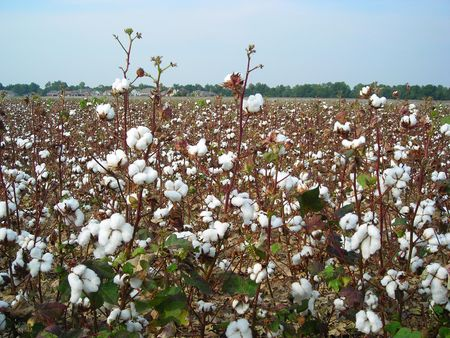 Cotton Field 2 Stock Photo
