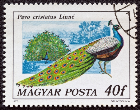 magyar: HUNGARY - CIRCA 1977: A stamp printed in Hungary from the birds issue shows a Peacock, circa 1977.