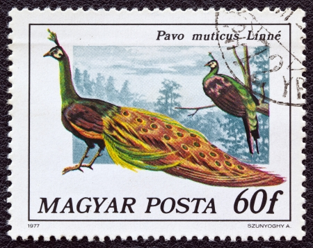 magyar: HUNGARY - CIRCA 1977: A stamp printed in Hungary from the birds issue shows a green Peacock, circa 1977.