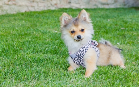 Long hair chihuahua on grass photo