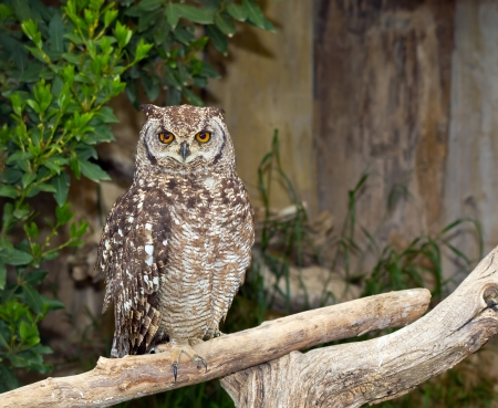 south african birds: Spotted Eagle-Owl Bubo africanus