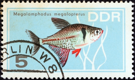 stempeln: GERMAN DEMOCRATIC REPUBLIC - CIRCA 1966: A stamp printed in Germany from the Aquarium Fishes issue shows a Black Phantom Tetra, circa 1966.