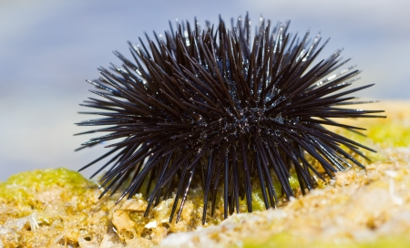 Sea urchin on a rock by the sea
