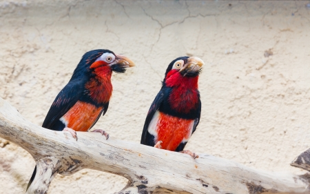 A pair of Bearded Barbet  Lybius dubius  birds  photo