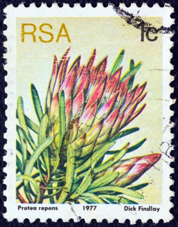 stempeln: SOUTH AFRICA - CIRCA 1977: A stamp printed in South Africa from the Succulents issue shows Protea repens, circa 1977.