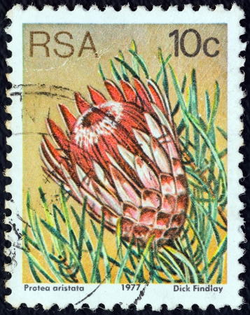 SOUTH AFRICA - CIRCA 1977: A stamp printed in South Africa from the Succulents issue shows Protea aristata, circa 1977.