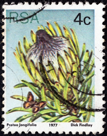 suid: SOUTH AFRICA - CIRCA 1977: A stamp printed in South Africa from the Succulents issue shows Protea longifolia, circa 1977.