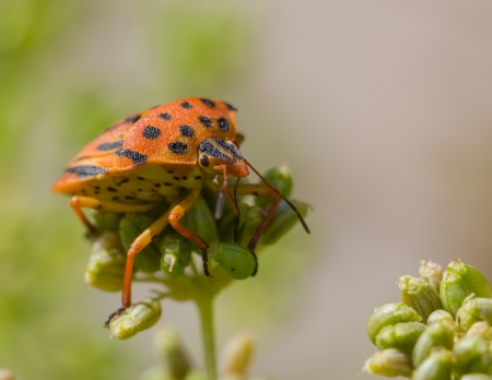 Half-spotted stink bug on a plant  Graphosoma semipunctatum   photo