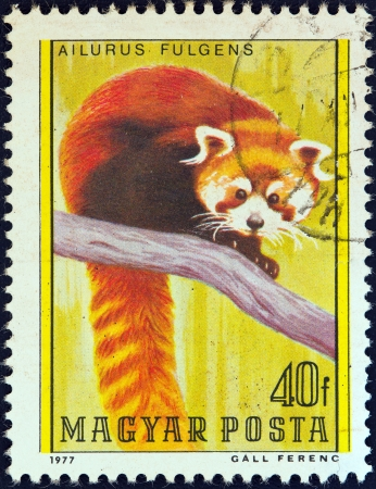 timbre: HUNGARY - CIRCA 1977: A stamp printed in Hungary from the Bears issue shows a Red Panda, circa 1977.  Editorial