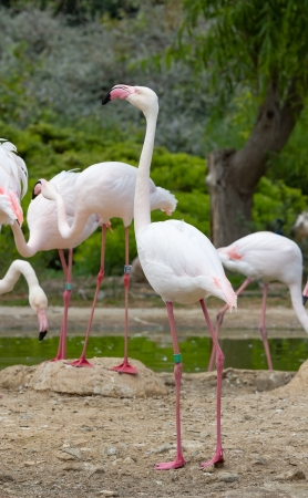 Greater Flamingos in a park  photo