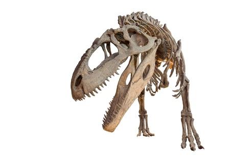 分離されたギガノトサウルス スケルトン