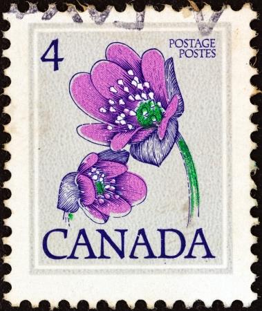 hepatica: CANADA - CIRCA 1977: A stamp printed in Canada shows Hepatica flower, circa 1977.
