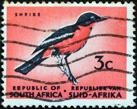 stempeln: SOUTH AFRICA - CIRCA 1961: A stamp printed in South Africa from the Republic issue shows a Crimson-breasted Shrike (Laniarius atrococcineus) bird, circa 1961.