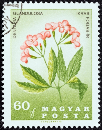 magyar posta: HUNGARY - CIRCA 1967: A stamp printed in Hungary from the 151st Death anniversary of Pal Kitaibel (botanist). Carpathian Flowers issue shows Dentaria glandulosa flower, circa 1967.