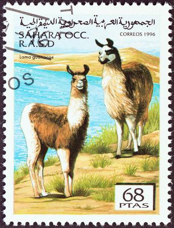 guanicoe: WESTERN SAHARA - CIRCA 1996  A stamp printed in Western Sahara shows Lama guanicoe, circa 1996