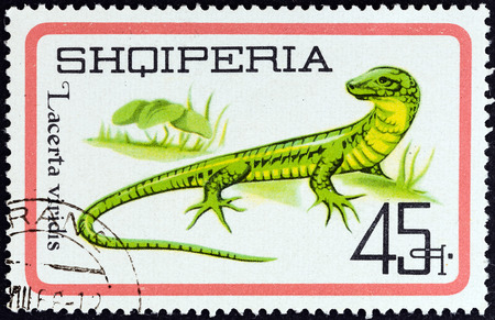lacerta viridis: ALBANIA - CIRCA 1966  A stamp printed in Albania from the  Reptiles   issue shows European Green Lizard  Lacerta viridis , circa 1966   Editorial