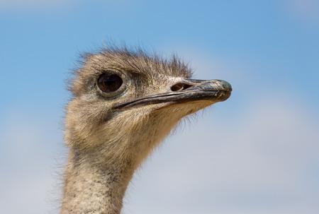Ostrich head photo