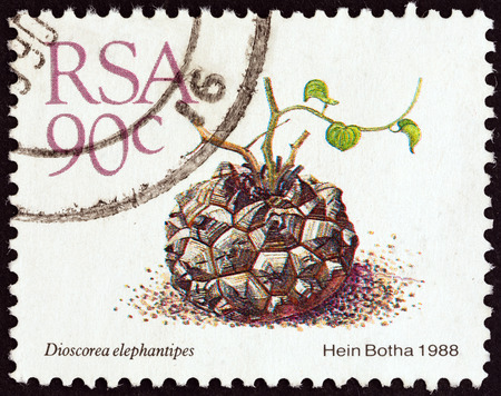 suid: SOUTH AFRICA - CIRCA 1988  A stamp printed in South Africa from the  Succulents   issue shows Elephant s foot  Dioscorea elephantipes , circa 1988