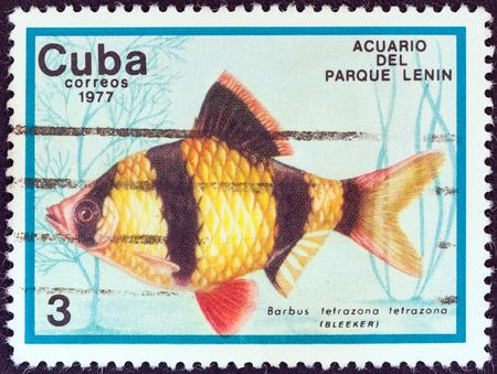 tetrazona: CUBA - CIRCA 1977  A stamp printed in Cuba from the  Fish in Lenin Park Aquarium, Havana  issue shows a Tiger barb fish  Barbus tetrazona , circa 1977   Editorial