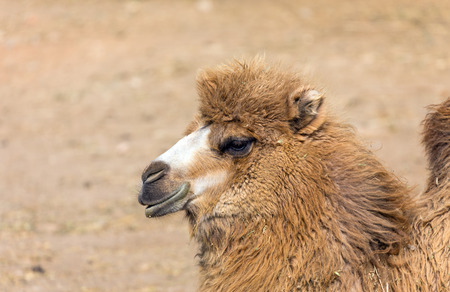 one humped: Bactrian camel portrait (Camelus bactrianus) Stock Photo